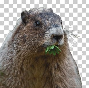 Prairie Dog Groundhog Rodent Red Squirrel Hoarding PNG