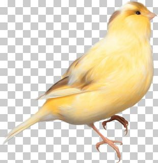 Domestic Canary Bird Parrot Finch PNG