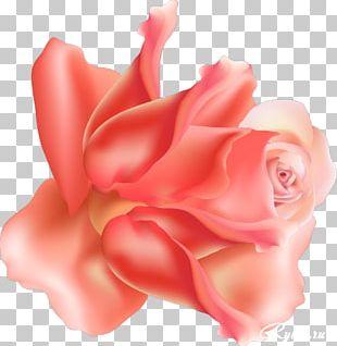 Garden Roses Centifolia Roses Floribunda Cut Flowers Petal PNG