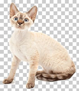 Devon Rex Australian Mist Domestic Short-haired Cat Sphynx Cat Whiskers PNG
