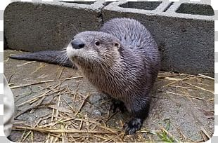 Sea Otter North American River Otter Grandfather Mountain Animal PNG