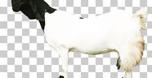 Sheep Dairy Cattle Jamnapari Goat Boer Goat Saanen Goat PNG