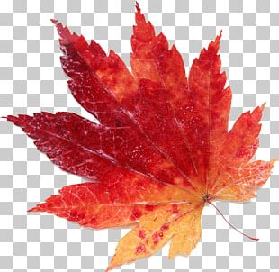 Maple Leaf Red PNG