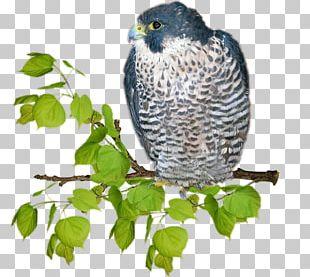 Hawk Owl Beak Fauna Falcon PNG