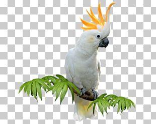 Sulphur-crested Cockatoo Budgerigar Bird Amazon Parrot Parakeet PNG