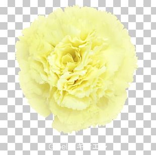Carnation Cut Flowers Yellow Violet PNG