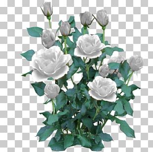 Black Rose Shrub Plant PNG