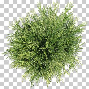 Tree Plant Shrub PNG
