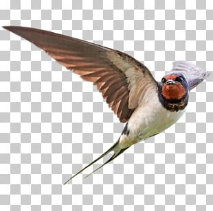 Bird Barn Swallow Stock Photography PNG