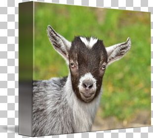 Goat Livestock Farm Herd Agriculture PNG