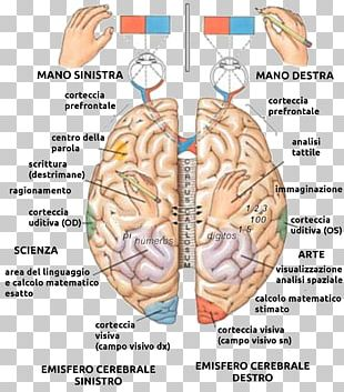 Lateralization Of Brain Function Cerebral Hemisphere Human Brain Anatomy PNG