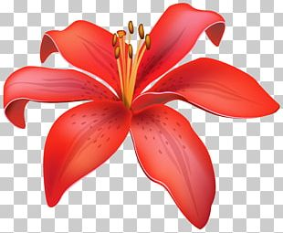 Lilium Candidum Flower Red PNG