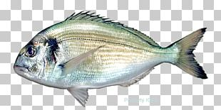Fish Pagrus Major Red Seabream Gilt-head Bream PNG