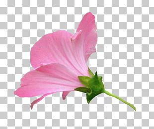 Mallows Pink M Herbaceous Plant Annual Plant PNG