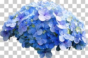 French Hydrangea Flower Blue Rose PNG