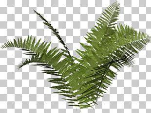 Ostrich Fern Vascular Plant Leaf PNG