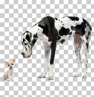 Dog Breed Cane Corso Puppy Pit Bull Labrador Retriever Png