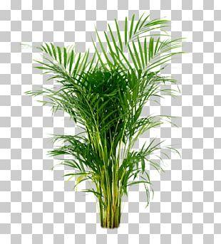 Areca Palm Arecaceae Houseplant Ornamental Plant PNG