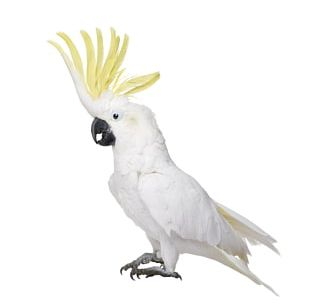 White Cockatoo Bird Cockatiel Budgerigar PNG
