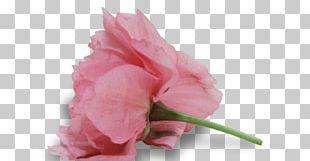 Garden Roses Cabbage Rose Cut Flowers Petal Plant Stem PNG