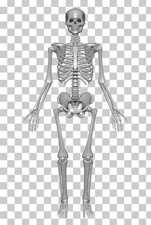 Human Skeleton Human Body Anatomy Bone PNG