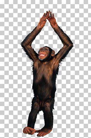 Gibbon Haplorhini Monkey PNG