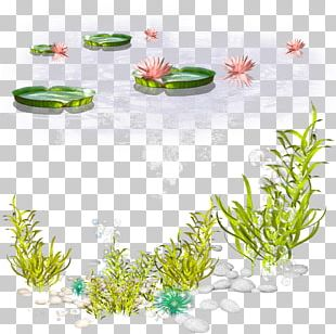 Algae Seaweed PNG