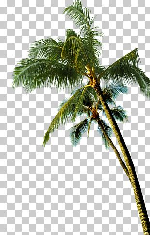Coconut Asian Palmyra Palm Tree PNG