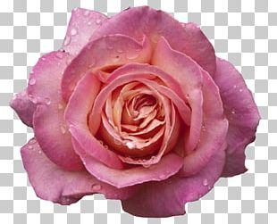 Garden Roses Pink Flowers Pink Flowers Centifolia Roses PNG