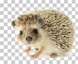 The Hedgehog And The Fox Pet Domesticated Hedgehog Dog PNG