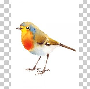 European Robin Bird Illustration Watercolor Painting Drawing PNG