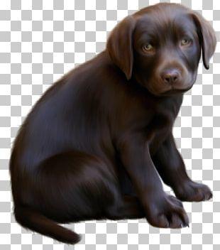 Boykin Spaniel Puppy Kitten PNG