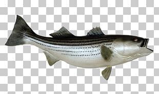 Striped Bass Fishing Stock Photography PNG