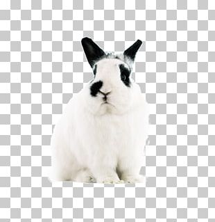 Domestic Rabbit Hare Easter Bunny Dwarf Rabbit PNG