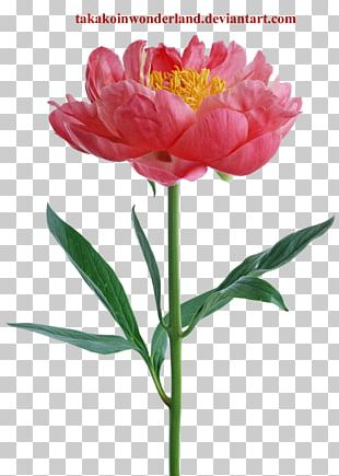 Peony Flower Desktop Stock Photography PNG