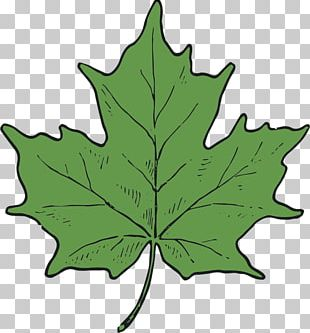 Maple Leaf Tree Plant Stem PNG
