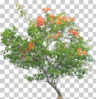 Bougainvillea Glabra Tree Shrub Flower Plant PNG