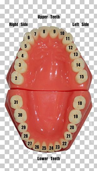 Human Tooth Dentistry Number Gums PNG