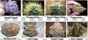 Medical Cannabis Strain White Widow Kush PNG