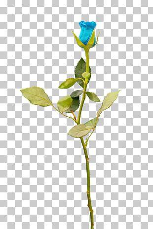 Garden Roses Cut Flowers Blue Rose Petal PNG