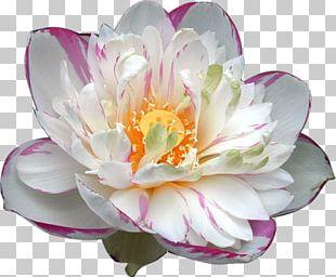 Nelumbo Nucifera Nymphaea Lotus Egyptian Lotus Flower Aquatic Plant PNG