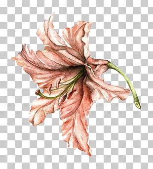 Lilium Drawing Flower Watercolor Painting PNG