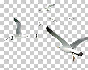 Flying Bird Gulls Flocks PNG