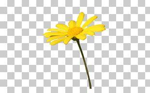 Daisy Family Common Daisy Oxeye Daisy Flower Transvaal Daisy PNG