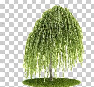 Weeping Willow Tree Balsam Poplar Pine Salix Matsudana PNG