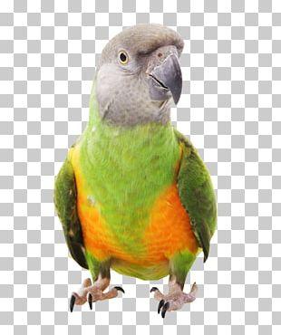 Senegal Parrot Bird Parrot Harness Meyer's Parrot PNG