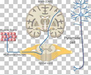 Somatic Nervous System Central Nervous System Motor Neuron Neural Pathway PNG