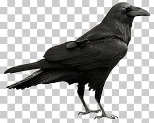 Rook American Crow New Caledonian Crow Common Raven Bird PNG