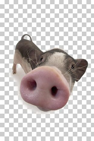 Domestic Pig Nose PNG