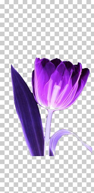 Tulip MyMathLab Purple Flower PNG